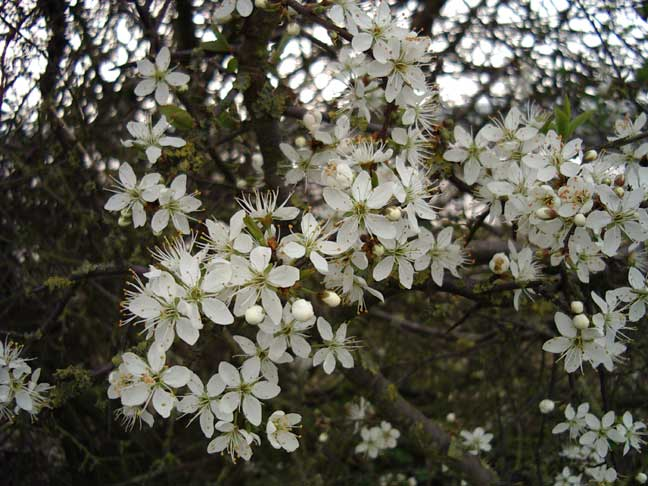 Blackthorn blooming at Imbolc.
