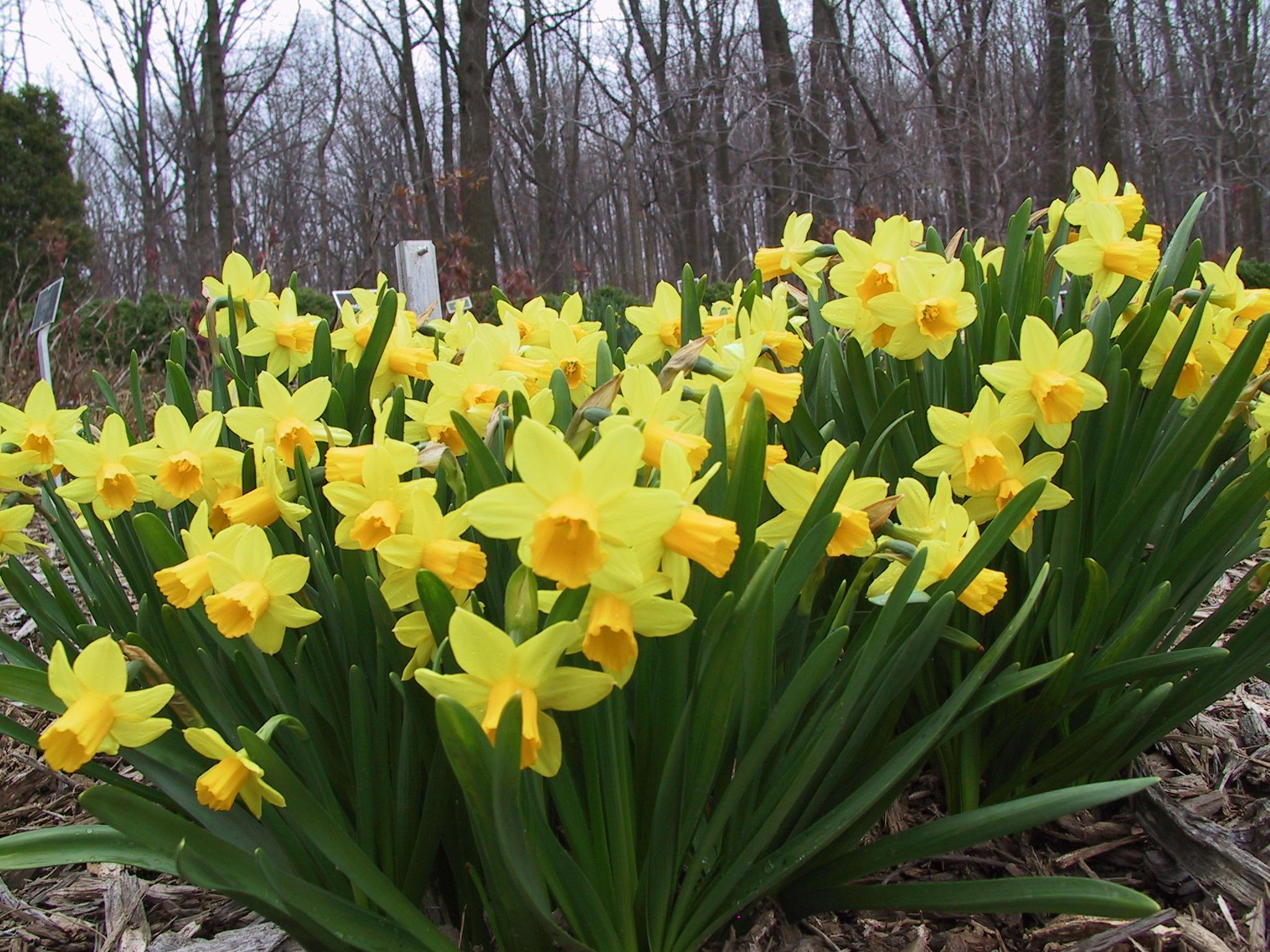 http://www.stephenmorrisauthor.com/wp-content/uploads/2013/03/Daffodil.jpg