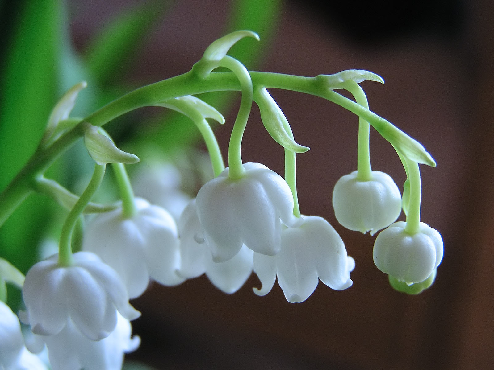 "Lily of the Valley is considered a ""masculine"" plant, dedicated to Mercury and associated with the element of Air. If you dream of Lily of the Valley, it can be indicative of a desire to flee the constraints of day-to-day life or re-discover the simple joys of nature."