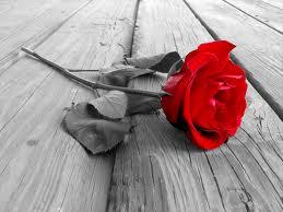 Rose, the flower of June - Stephen Morris, author
