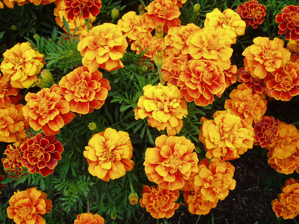 Marigold blossoms can be strung between doorposts to keep evil out of the house. If a girl steps onmarigold petals with her bare feet, she will be able to understand the languages of birds.