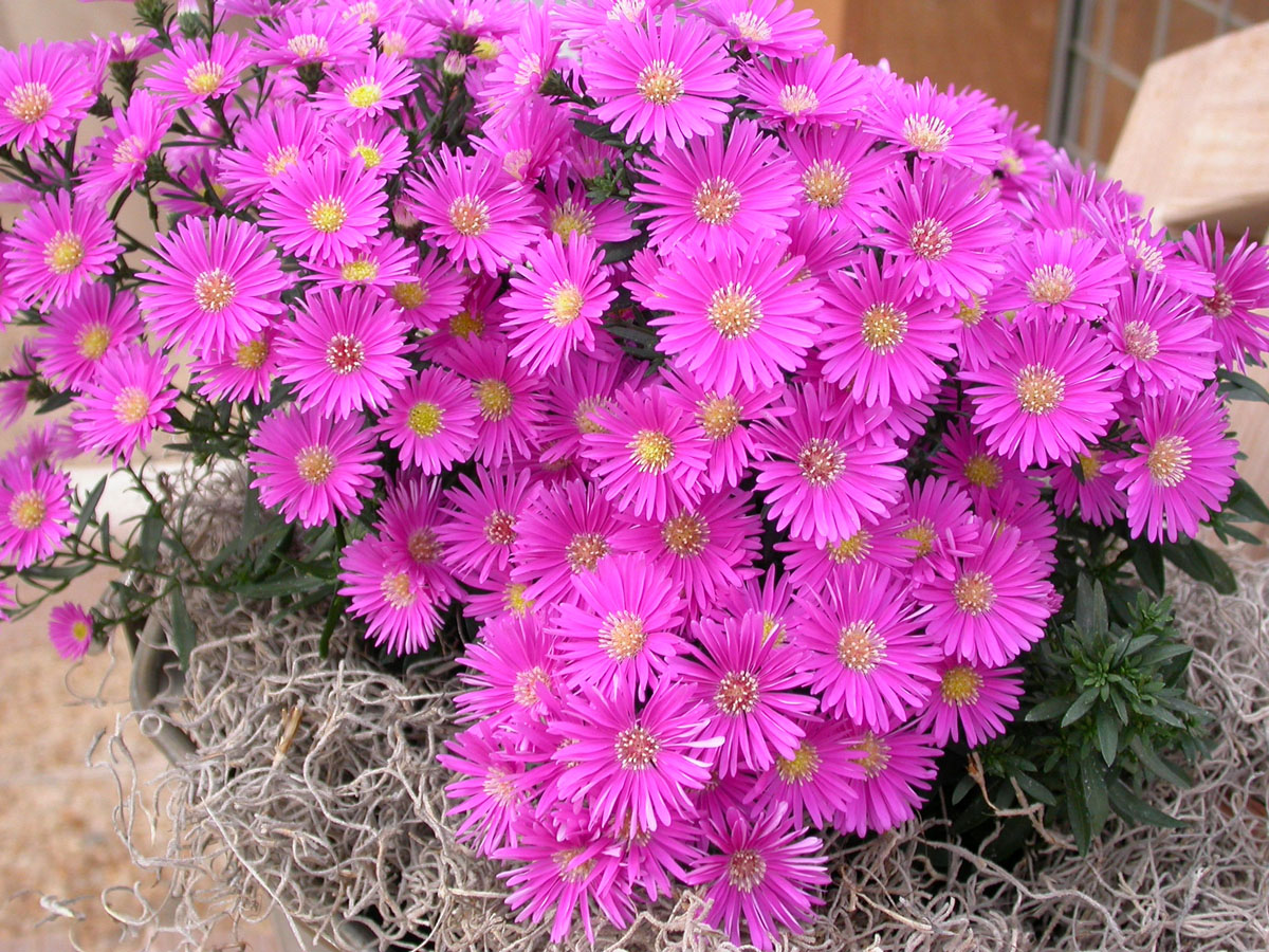 Aster and Morning Glory September s Blossoms Stephen Morris author