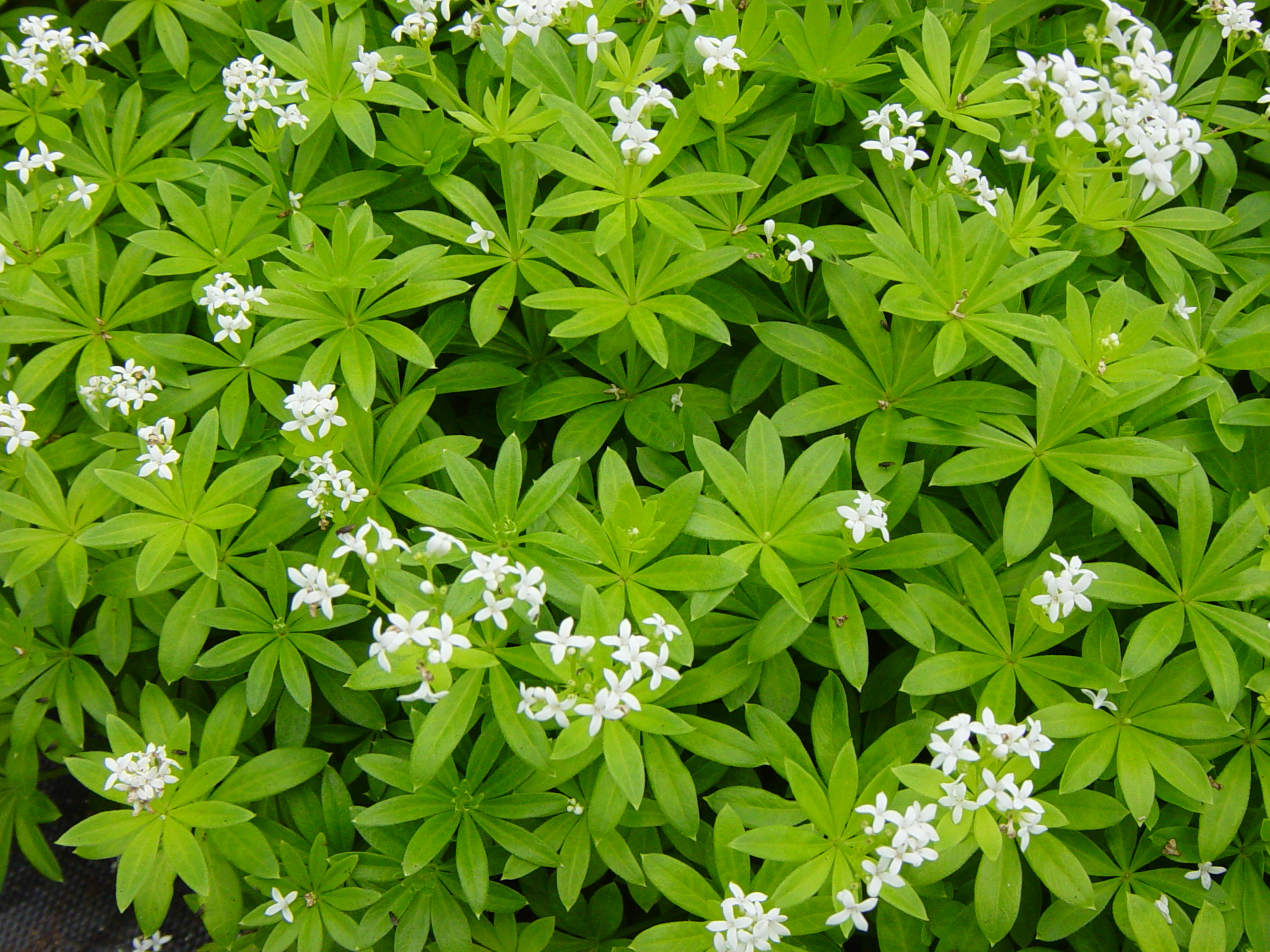 Woodruff is associated with the planet Mars and the element of Fire.