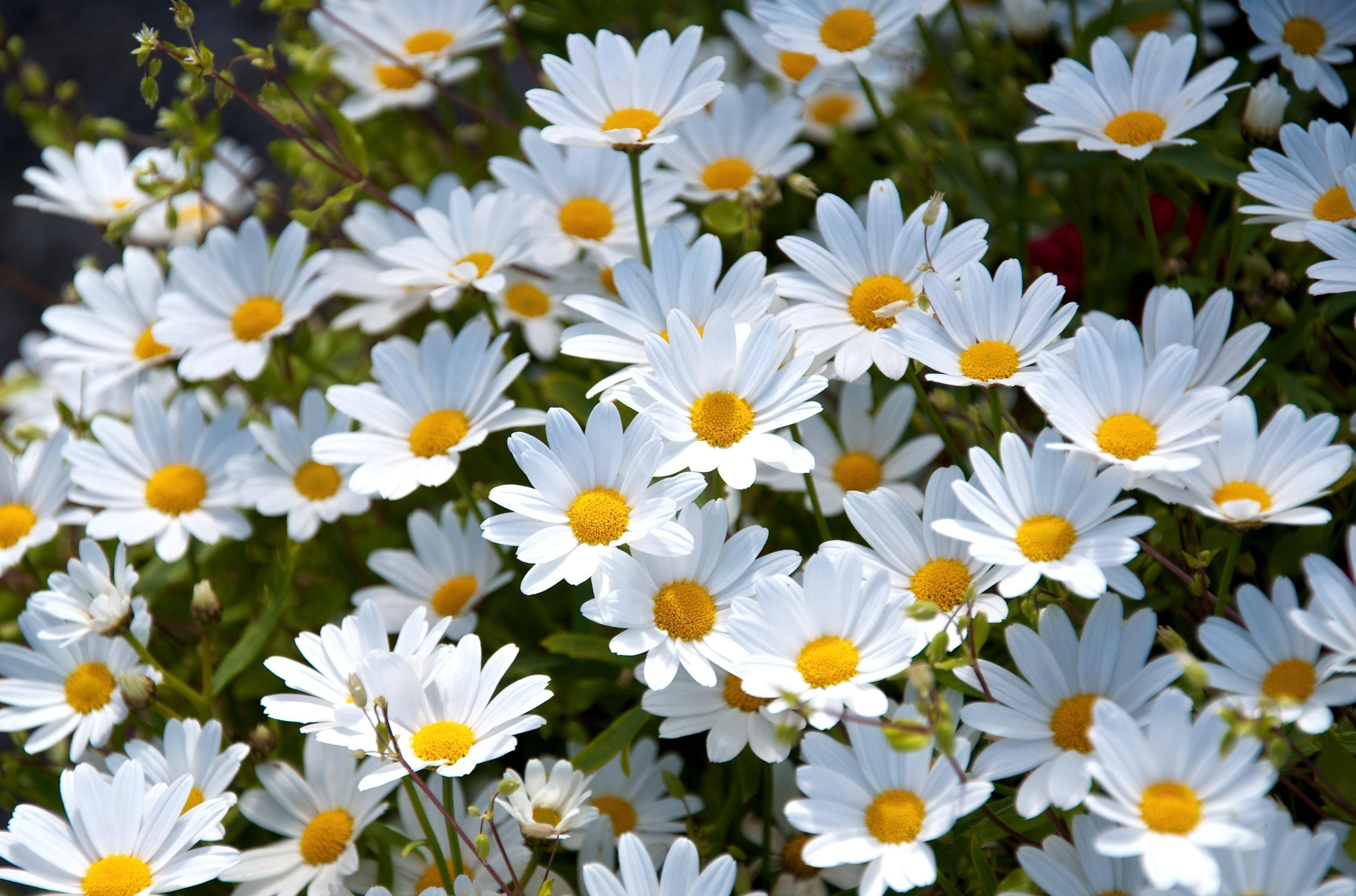 Daisy archives stephen morris author april daisies dhlflorist Choice Image